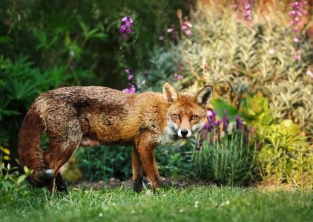 Zamknij się z czerwonego lisa w ogrodzie z kwiatami, Wielka Brytania.