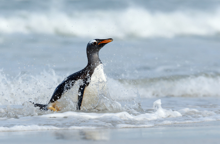 Close-up of a Gentoo penguin Pygoscelis papua splashing in the ocean water.