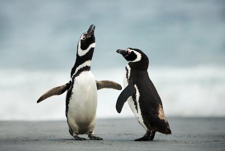 parade nuptiale de manchots de Magellan, îles Falkland.