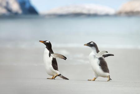 Cerca de un polluelo de pingüino Gentoo persiguiendo a su padre para ser alimentado. Foto de archivo