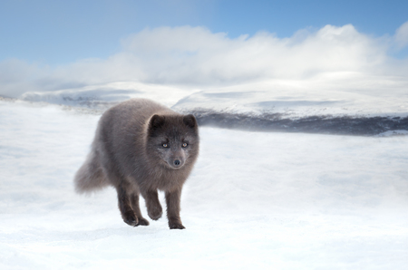 Close up of an Arctic fox in winter, Iceland.