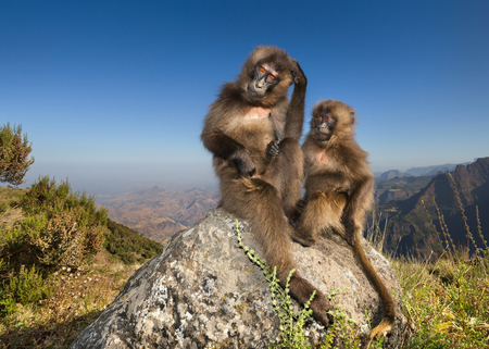Close up of baby Gelada monkeys sittting on a rock in Simien mountains, Ethiopia. Фото со стока