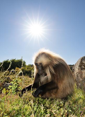 Close up of an adult Gelada monkey (Theropithecus gelada) grazing, Simien mountains, Ethiopia. 版權商用圖片