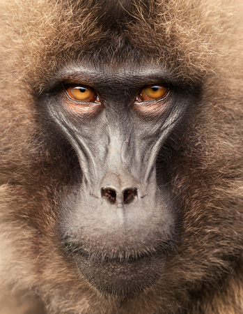 Close up of adult Gelada monkey (Theropithecus gelada), Simien mountains, Ethiopia.