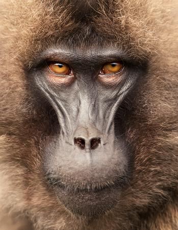 Close up of adult Gelada monkey (Theropithecus gelada), Simien mountains, Ethiopia. Фото со стока - 123295004