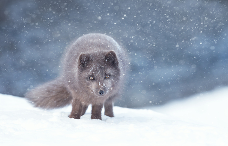 Close up of an Arctic fox in the falling snow, Iceland.