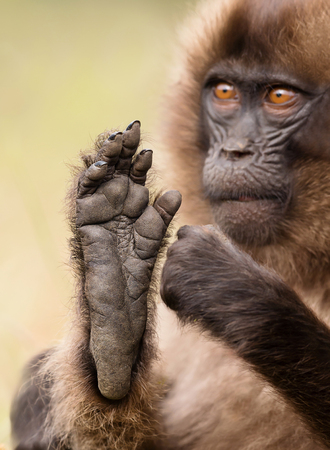 Close up of a baby Gelada monkey sitting with a foot up, Simien mountains, Ethiopia. Фото со стока
