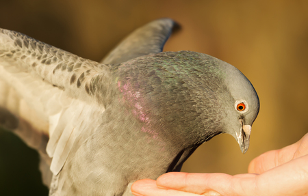 Close up of a Feral pigeon (Columba livia domestica) eating from hand.