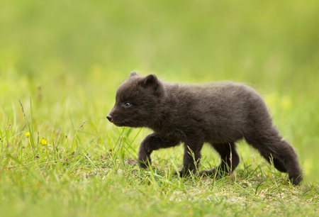 Close up of Arctic Fox (Vulpes lagopus) cub in meadow, Iceland.