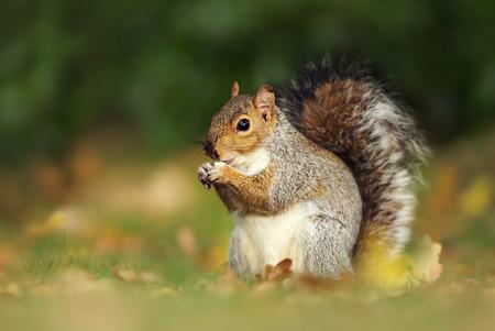 Nahaufnahme eines niedlichen grauen Eichhörnchens, das Nüsse isst. Herbst in Großbritannien. Standard-Bild