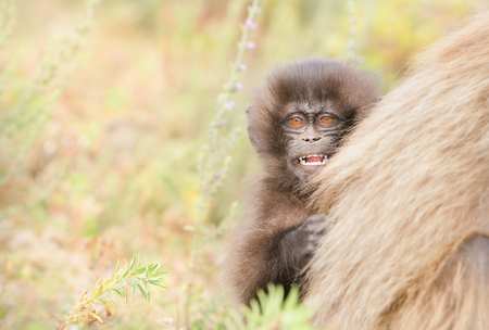 Close up of a young Gelada monkey curiously looking from behind his mom, Ethiopia. 版權商用圖片