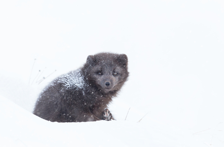 Close up of an Arctic fox lying on snow in winter, Iceland. Фото со стока
