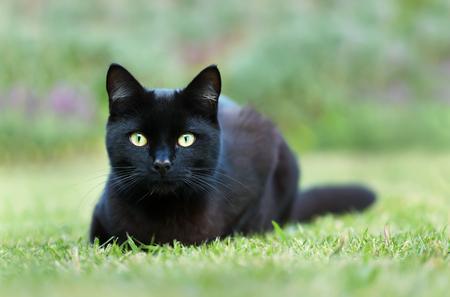 Nahaufnahme einer schwarzen Katze auf dem Rasen im Garten liegend, UK.