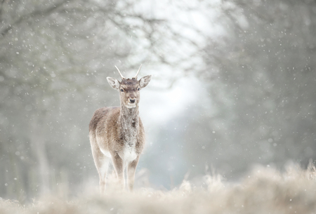 Close up of a juvenile fallow deer in the falling snow. Stock Photo