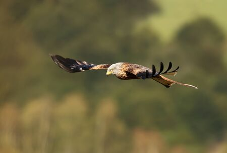 Close up of a Red kite in flight, Chilterns, Oxfordshire, UK.
