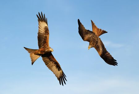 Close up of Red kites in flight against blue sky, Chilterns, Oxfordshire, UK.