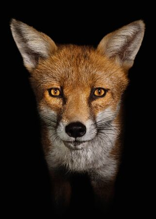 Close up of a Red fox against black background, England, UK.