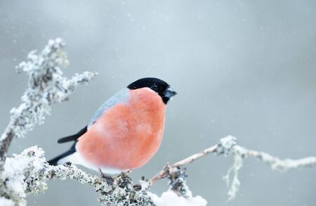 Close up of a male Eurasian bullfinch  (Pyrrhula pyrrhula) perched on a mossy branch in winter, Norway.