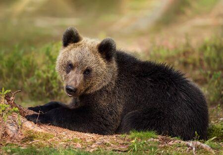 Cerca de oso pardo euroasiático (Ursus arctos arctos) cachorro tumbado en el bosque boreal, Finlandia.