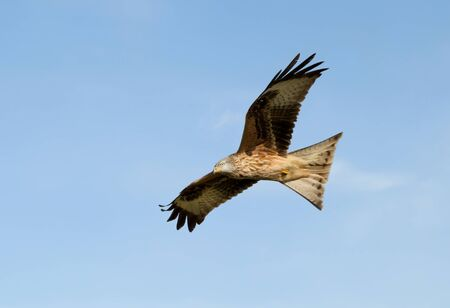 Close up of a Red kite in flight against blue sky, Chilterns, Oxfordshire, UK.