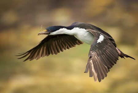 Close-up of an Imperial shag (Leucocarbo atriceps) in flight, Falkland Islands.