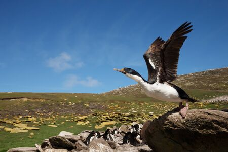Close-up of an Imperial Shag (Leucocarbo atriceps) taking off, Falkland Islands.