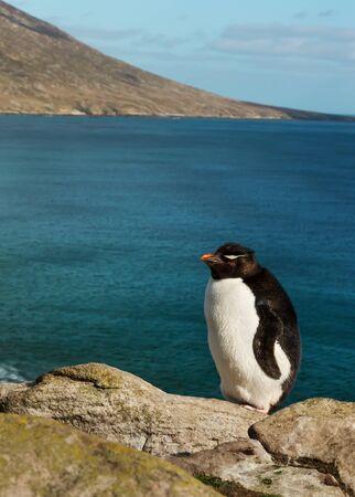 Rockhopper penguin (Eudyptes chrysocome) standing on rocks on a coastal area of Falkland Islands. Foto de archivo