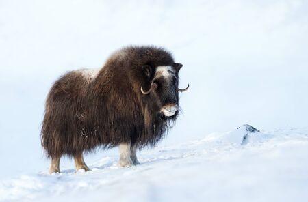Gros plan d'un bœuf musqué en hiver, la Norvège.