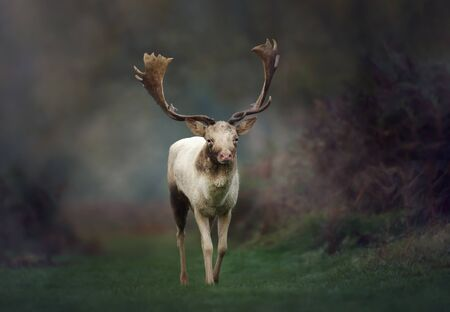 Close up of a Fallow deer (Dama dama) on a misty morning in autumn, UK. Standard-Bild