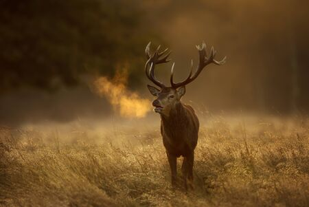 Close up of a Red Deer (Cervus elaphus) stag during rutting season with breath condensing at dawn, UK.