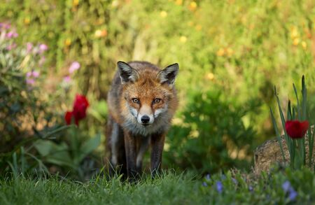 Close up of a red fox (Vulpes vulpes) among flowers, UK.
