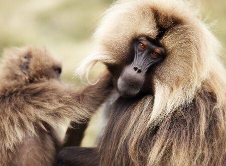 Close up of grooming Gelada monkeys, Simien mountains, Ethiopia.