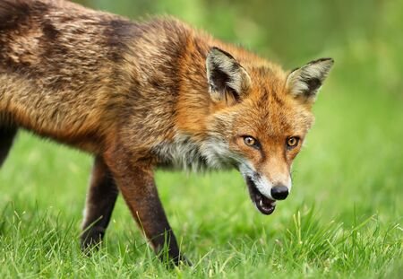 Close up of a red fox on the grass in summer, UK.