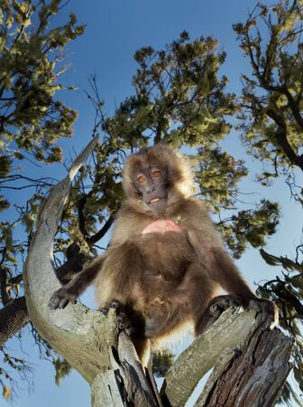 Close up of a baby Gelada monkey sitting in a tree, Simien mountains, Ethiopia. Stockfoto