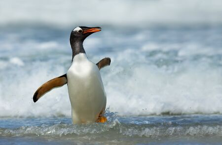Close up of a Gentoo penguin (Pygoscelis papua) coming ashore from stormy waters, Falkland Islands.
