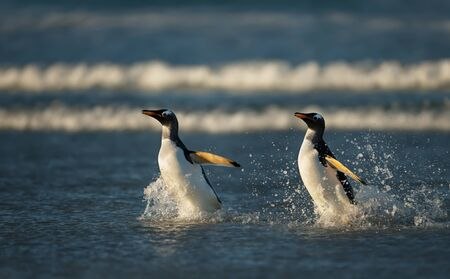 Two Gentoo penguins returning from the ocean, Falkland Islands.