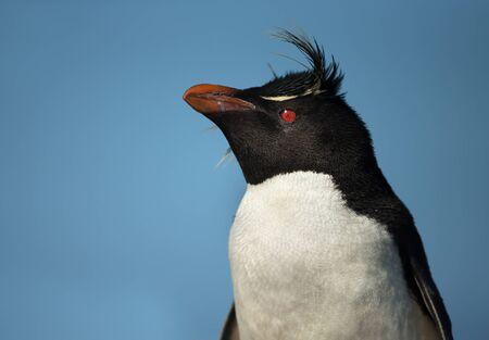 Close-up of a Southern rockhopper penguin, Falkland Islands.