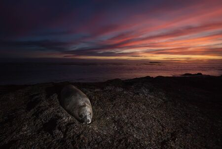 Close up of Southern Elephant Seal lying on a beach at sunset, Falkland Islands. 스톡 콘텐츠