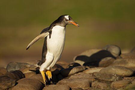 Gentoo penguin jumping on rocks, Falkland Islands.