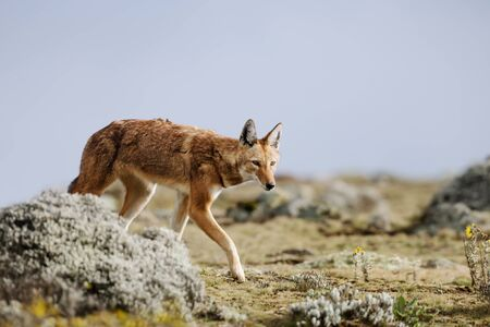 Close up of a rare and endangered Ethiopian wolf (Canis simensis) walking in Bale mountains, Ethiopia.