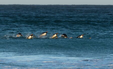 Gentoo penguins (Pygoscelis papua) diving in water, Falkland Islands. Stock Photo