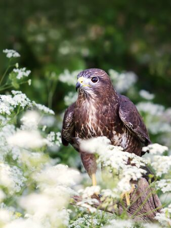 Close up of a Common Buzzard (Buteo buteo) in the meadow with white flowers, UK.