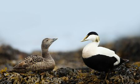 Close-up of a female and male common eiders in seaweeds, Iceland.