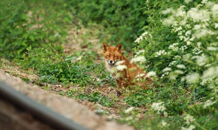 Red fox (Vulpes vulpes) standing by a rail track in summer, UK.