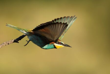 Close up of a European Bee-eater (Merops apiaster) in flight. Stok Fotoğraf