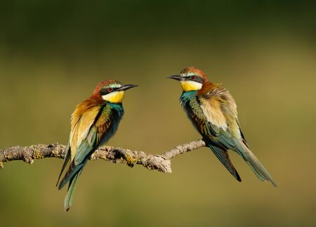 Close up of two European Bee-eaters (Merops apiaster) with puffed feathers perching on a branch.