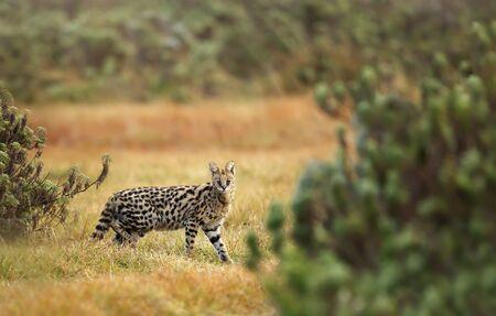 Serval cat (Leptailurus serval) in the Gaysay Grasslands, Ethiopia.