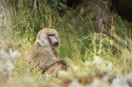 Close up of an olive baboon (Papio anubis) sitting grass, Ethiopia. Stockfoto