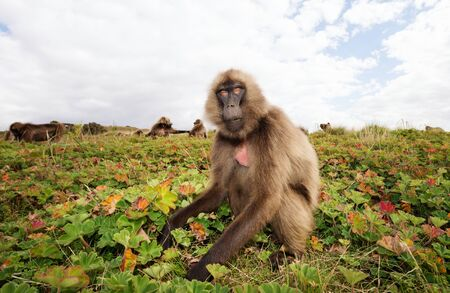 Close up of a female Gelada monkey eating grass in Simien mountains, Ethiopia.