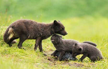 Close-up of an adult Arctic fox (Vulpes lagopus) feeding little cubs on a rainy day, Iceland.